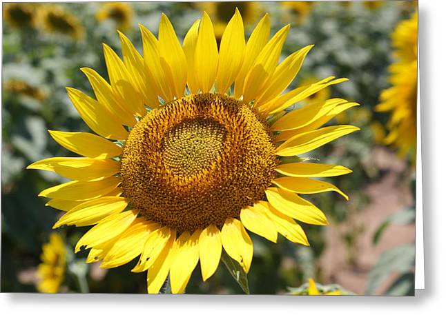 Greeting Card featuring the photograph Sunflower by Donna  Smith