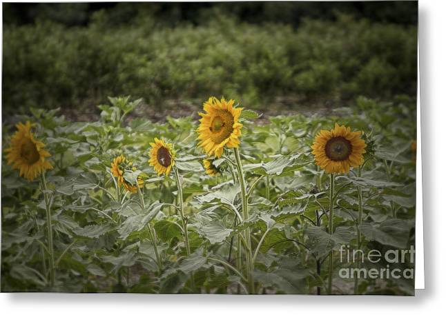 Sunflower Driveby Greeting Card