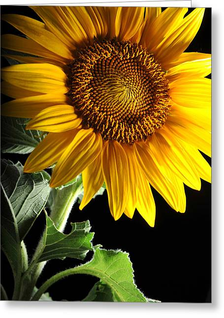 Sunflower Greeting Card by Dung Ma