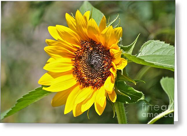 Greeting Card featuring the photograph Sunflower by Eve Spring