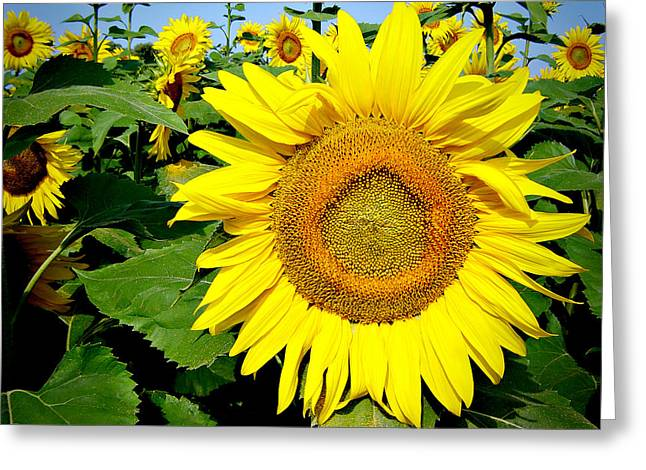 Sunflower Fields 1 Greeting Card by Julie Palencia