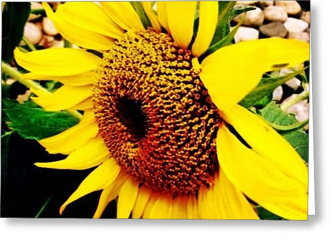 #sunflower #flower #sun #yellow #green Greeting Card