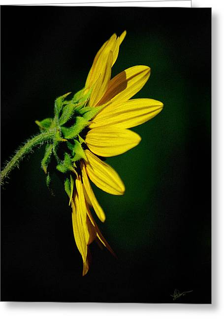 Greeting Card featuring the photograph Sunflower In Profile by Vicki Pelham