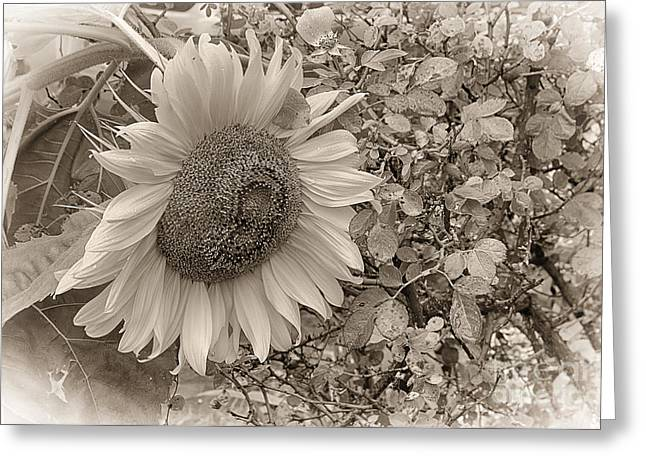 Sunflower In Sepia Greeting Card