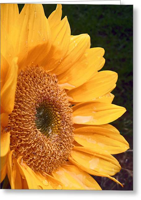 Sunflower  Greeting Card by Jon Baldwin  Art