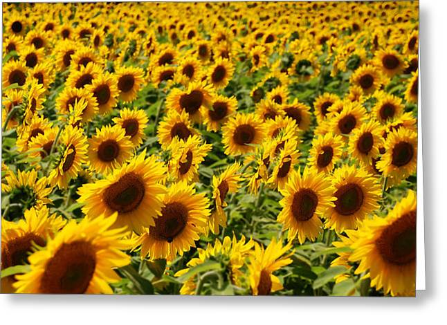 Greeting Card featuring the photograph Sunflower Panorama by Nancy De Flon