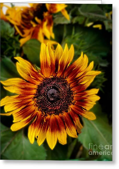 Sunflower Greeting Card by Robert Bales