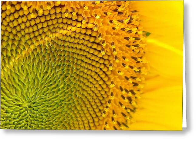 Sunflower Study 1 Greeting Card