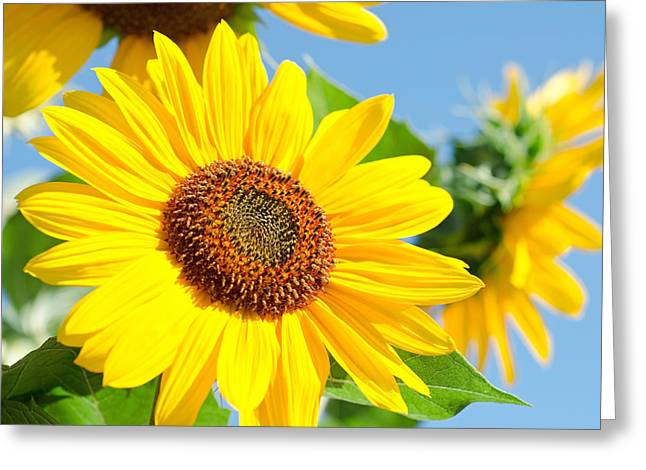 Sunflower Study IIi Greeting Card