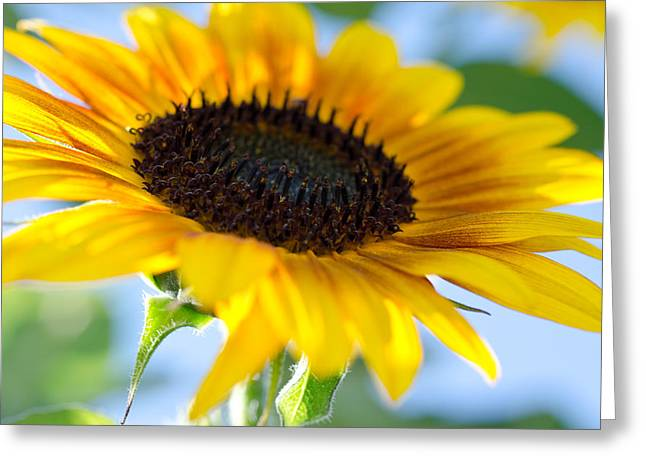 Sunflower Study V Greeting Card
