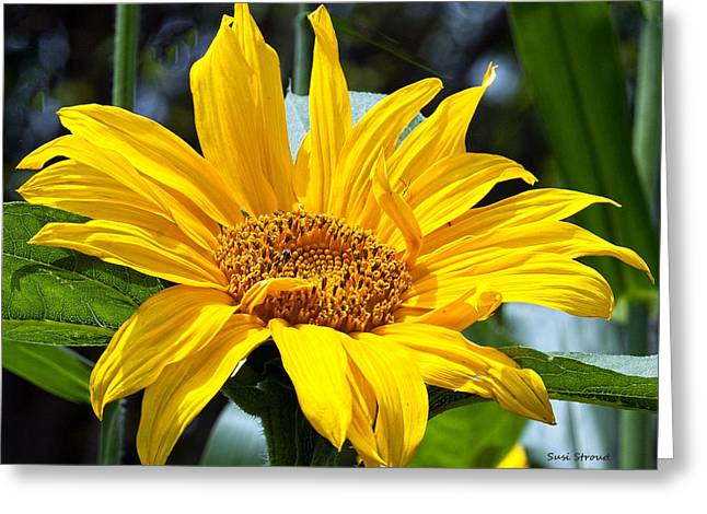 Greeting Card featuring the photograph Sunflower by Susi Stroud