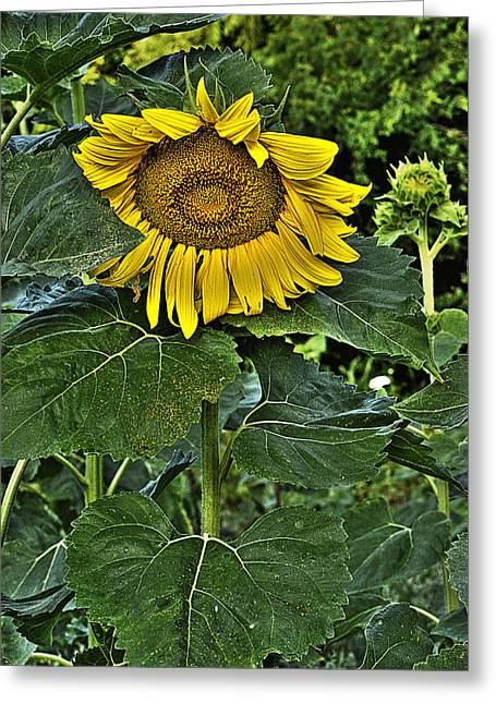 Sunflower Sutra Greeting Card by William Fields