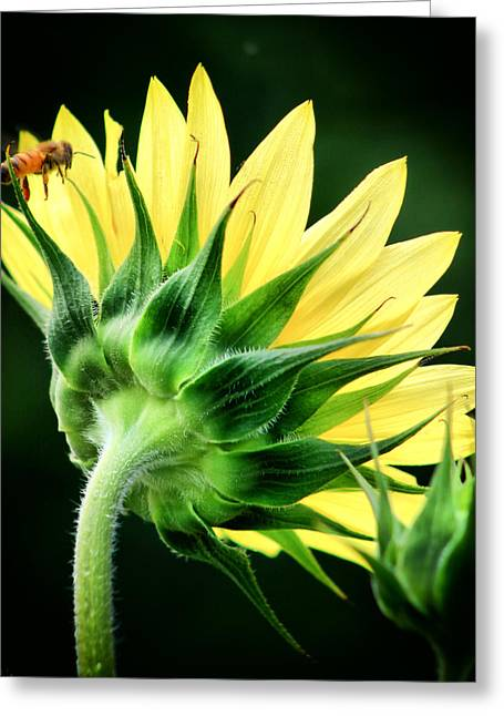 Sunflower With Bee Greeting Card by Lynne Jenkins