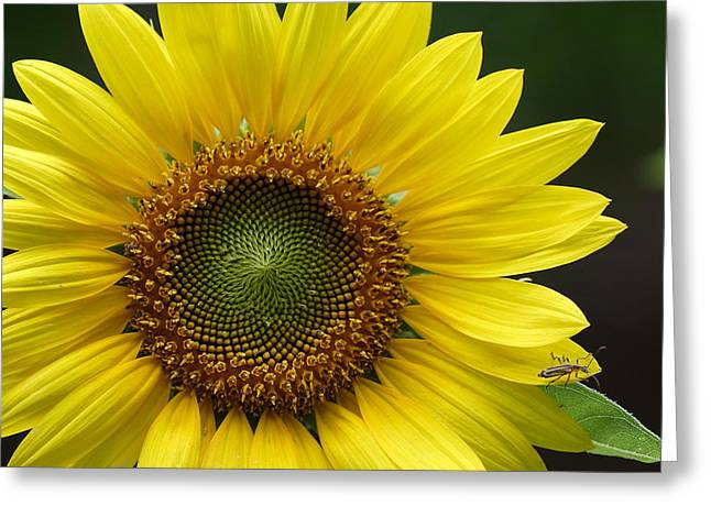 Greeting Card featuring the photograph Sunflower With Insect by Daniel Reed