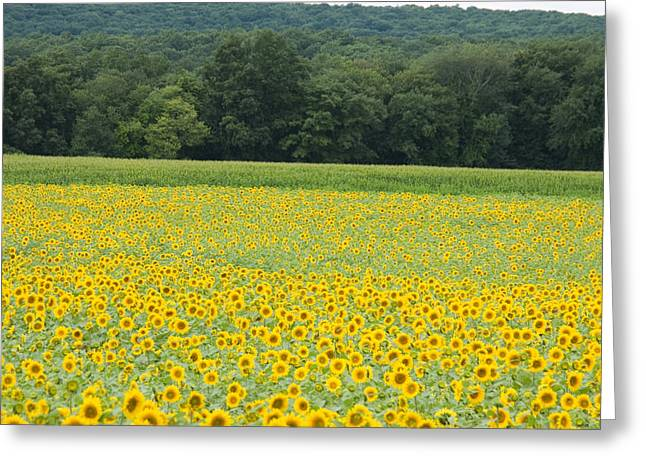 Sunflowers 2 Greeting Card by Ron Smith