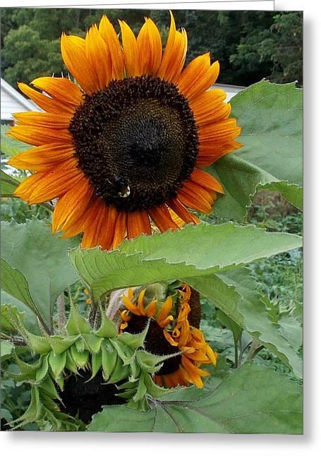 Sunflowers Greeting Card by Angelika MacDonald