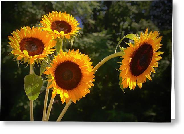 Sunflowers Greeting Card by Boyd Alexander