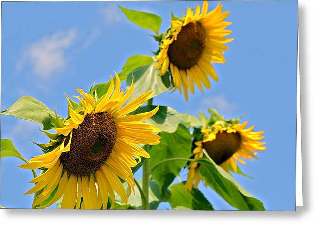 Sunflowers On Blue Greeting Card by Susan Leggett