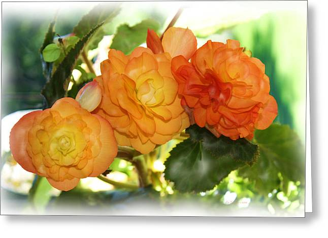 Sunkissed Begonia Trio Greeting Card