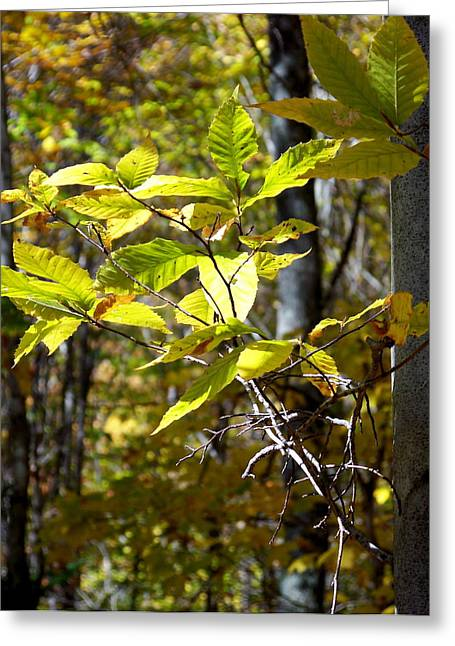 Sunlight On Leaves Greeting Card