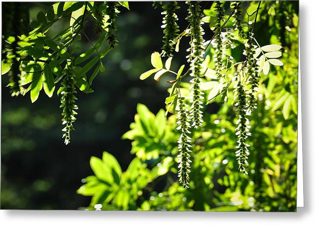 Sunlight Through Branches Greeting Card by Ronda Broatch