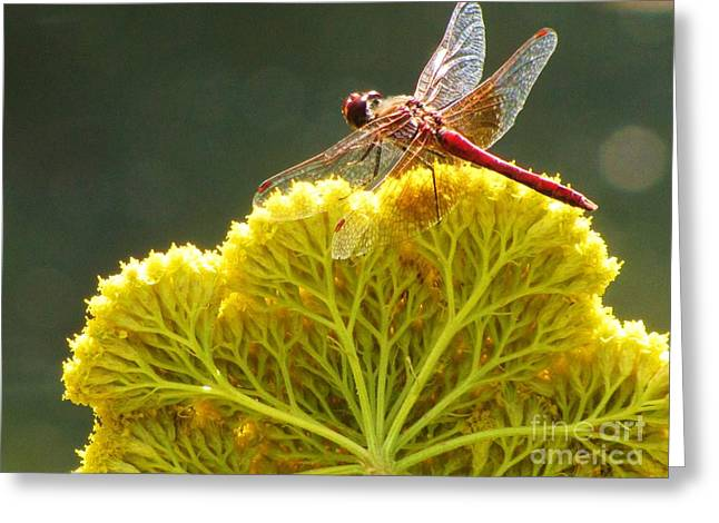 Greeting Card featuring the photograph Sunlit Dragonfly On Yellow Yarrow by Michele Penner
