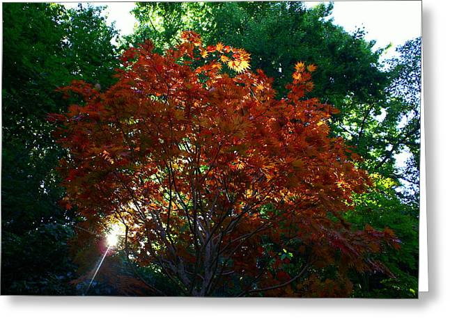 Sunlit Maple Greeting Card