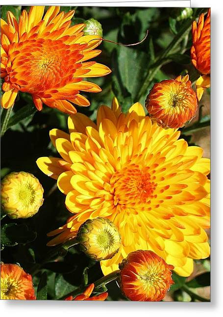 Sunning Mums Greeting Card by Bruce Bley