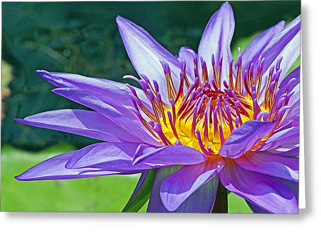 Sunny Purple Waterlily Greeting Card by Becky Lodes