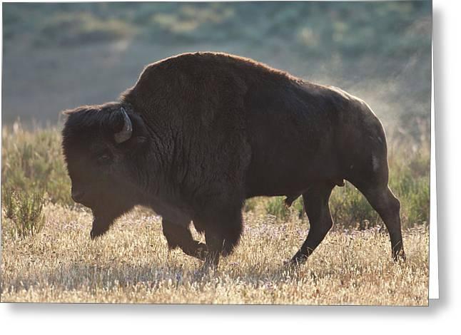 Sunrise Buffalo Greeting Card by D Robert Franz