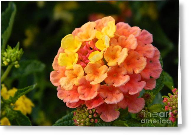 Sunrise Inspired Flower Greeting Card by Sara  Mayer