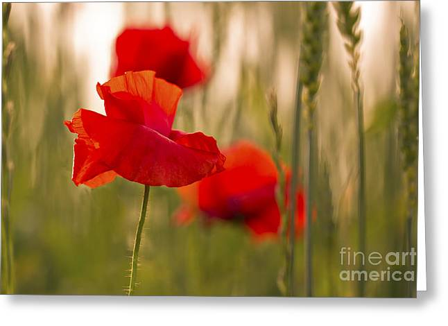 Sunset Poppies. Greeting Card by Clare Bambers