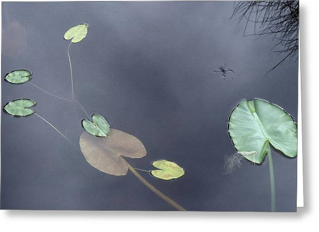 Surface Of A Lily Pond In Alaska Greeting Card by Stephen Sharnoff