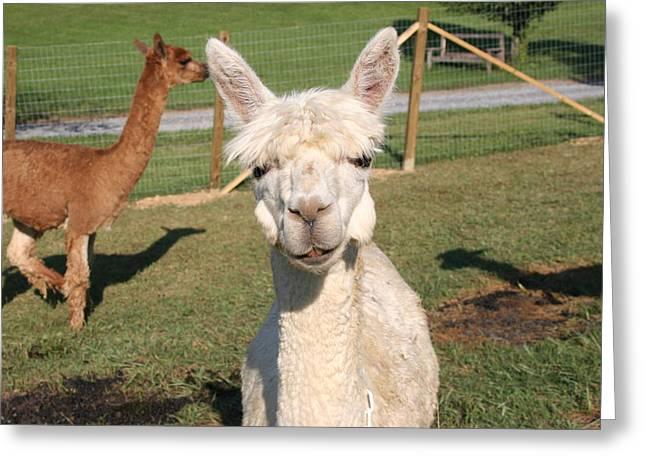 Greeting Card featuring the photograph Suri Alpaca Number 2 by Paula Tohline Calhoun