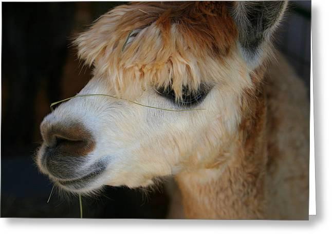 Suri Alpaca Number 5 Greeting Card