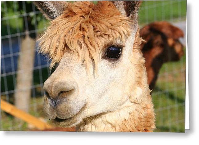 Suri Alpaca Number 8 Greeting Card