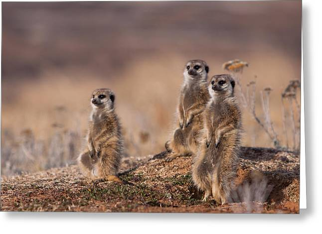 Suricate Family Greeting Card