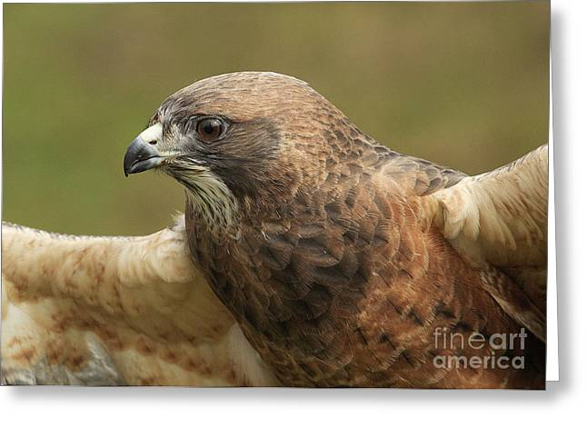 Greeting Card featuring the photograph Swainson's Hawk by Doug Herr