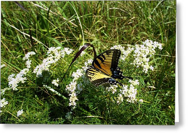 Swallow Tail  Greeting Card by Skip Willits