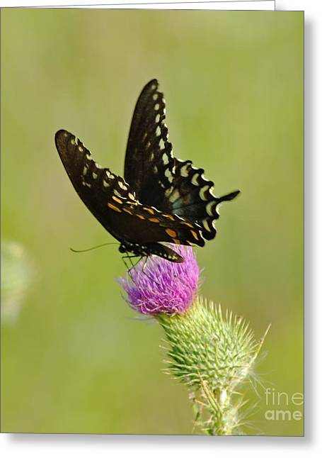 Swallowtail At Work Greeting Card by Ginger Harris