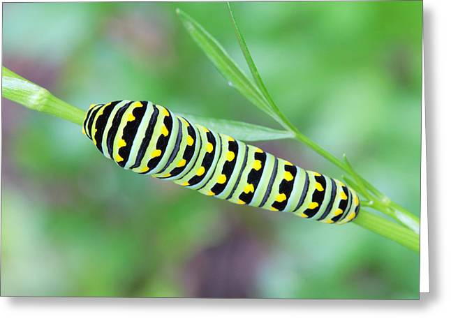 Swallowtail Caterpillar On Parsley Greeting Card