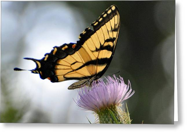 Swallowtail Greeting Card by Marty Koch