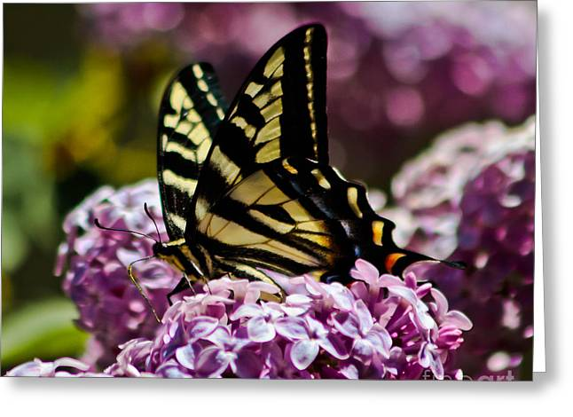 Swallowtail On Lilac 2 Greeting Card by Mitch Shindelbower