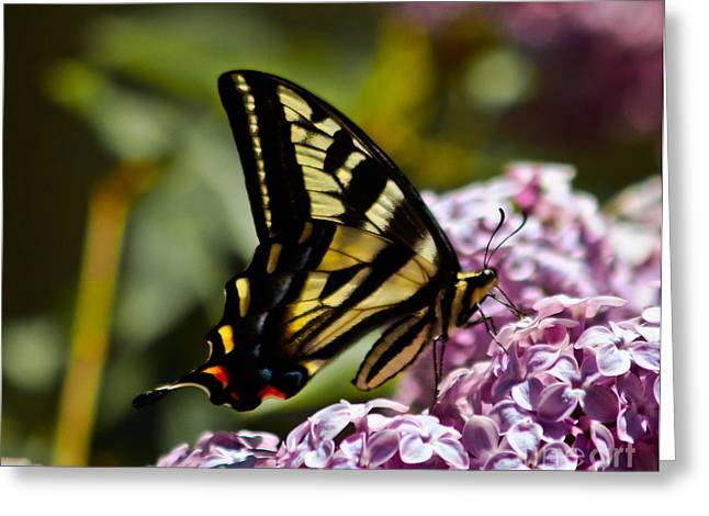 Swallowtail On Lilac Greeting Card by Mitch Shindelbower