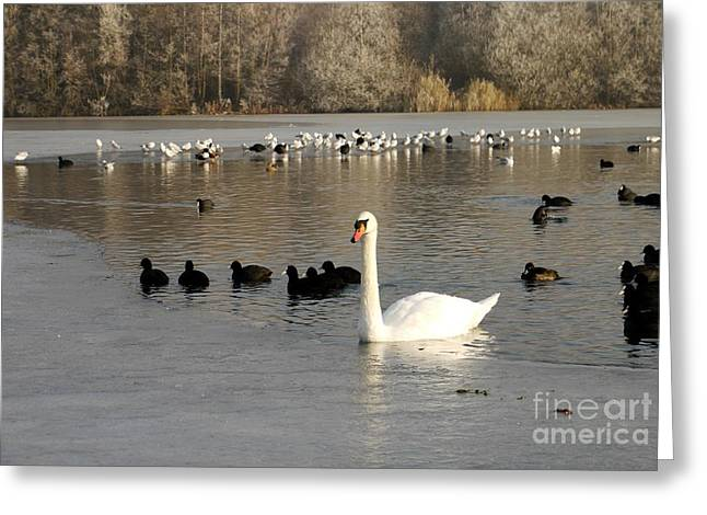 Swan And Ice Greeting Card by John Chatterley