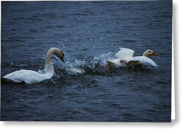 Greeting Card featuring the photograph Swan Attack by Brian Stevens