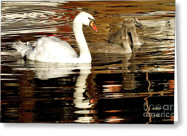 Greeting Card featuring the photograph Swan Family In Evening by Charles Lupica