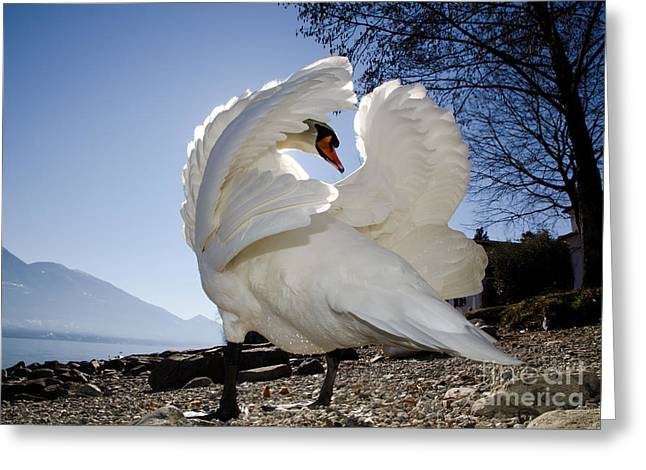 Swan In Backlight Greeting Card