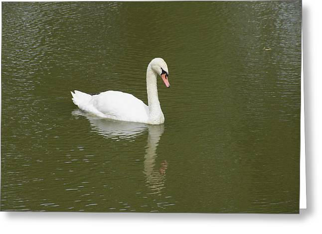 Swan Looking At Reflection Greeting Card by Corinne Elizabeth Cowherd