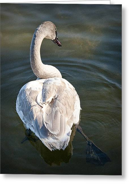 Swan On Evergreen Lake At Kellogg Bird Sanctuary No.0014 Greeting Card by Randall Nyhof